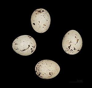 Ortolan bunting - Ortolan eggs