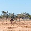 Emu Burke River floodplain Boulia Shire Queensland P1060872.jpg