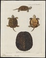 Emys europaea - 1700-1880 - Print - Iconographia Zoologica - Special Collections University of Amsterdam - UBA01 IZ11600123.tif