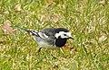 Engelsk Sädesärla Pied Wagtail (31862560612).jpg