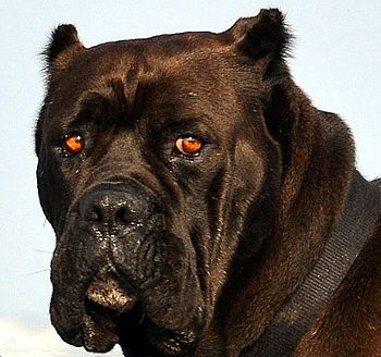 മലയാളം: English Mastiff dog breed