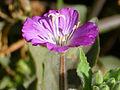 Epilobium hirsutum Enfoque 2011-10-12 SierraMadrona.jpg