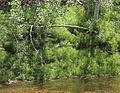 Equisetum arvense streambank.jpg