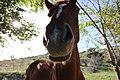 Equus ferus caballus (06).jpg