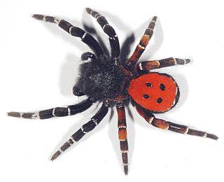 Velvet spider Family of spiders