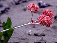 Eriogonumlatifolium