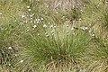 Eriophorum vaginatum kz09.jpg