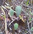 Eriospermum paradoxum - Ashton South Africa.jpg