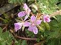 Erodium cicutarium01.jpg