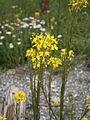 Erysimum hieracifolium 004.JPG