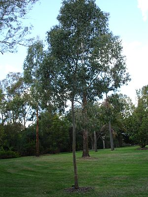 Must gum eucalyptus