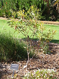 Eucalyptus kingsmillii