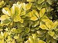 Euonymus japonicus 'Ovatus Aureus'.jpg