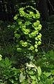 Euphorbia amygdaloides 3 RF.jpg