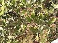 Euphorbia antiquorum-1-ghat road-yercaud-salem-India.jpg