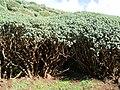 Euphorbia balsamifera (Garafía) 10.jpg