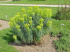Euphorbia characias3.jpg