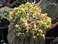 Euphorbia obesa (3742932955).jpg