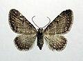 Eupithecia valerianata1.jpg