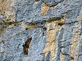 Eurasian Griffon (Gyps fulvus) (14167879510).jpg