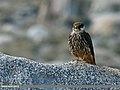 Eurasian Hobby (Falco subbuteo) (23225124006).jpg