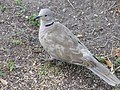 Eurasian collared dove in yard.jpg