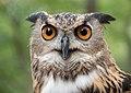 Eurasian eagle-owl (44088).jpg