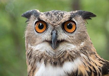 A rescued Eurasian eagle-owl