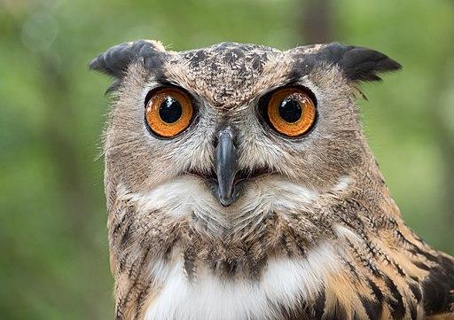 Eurasian eagle-owl (44088)