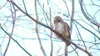 File:Eurasian pygmy owl (Glaucidium passerinum) in Slovakia.webm