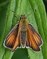 European Skipper (Thymelicus lineola) - Guelph, Ontario 05.jpg