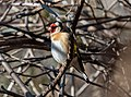 European goldfinch in Prospect Park (63053).jpg