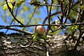 Fagales - Quercus robur - 008.jpg