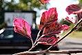 Fagus sylvatica Roseomarginata 0zz.jpg