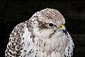 Falco cherrug cherrug qtl1.jpg