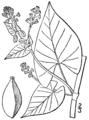 Fallopia scandens var scandens BB-1913.png