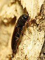 False Click Beetle (31811154985).jpg