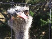Farmed ostrich