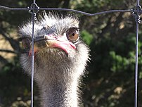 The Ostrich Struthio camelus is now farmed, primarily for the low fat meat. The Ostrichs are contained by a 2m high fence with an electrified wire running along the top - perhaps contributing to this bird's contemplation of the fence.