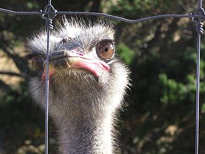 Farmed Ostrich.JPG