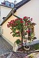 Feldkirchen Amthofgasse Kletterrose 'Paul's Scarlet Climber' 04062018 3555.jpg