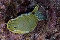 Felimare Arrecife B147800.jpg