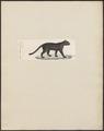 Felis obscura - 1834 - Print - Iconographia Zoologica - Special Collections University of Amsterdam - UBA01 IZ22100308.tif
