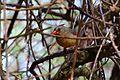 Female Cardinal (27588003302).jpg
