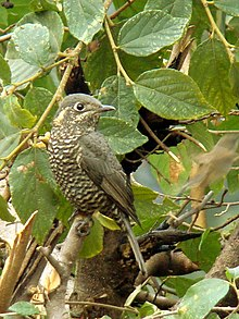 Female Chestnut-bellied Rock-thrush.jpg