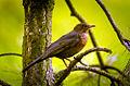 Female blackbird (18267702154).jpg