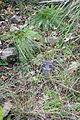 Festuca idahoensis - Regional Parks Botanic Garden, Berkeley, CA - DSC04514.JPG