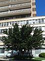 Ficus microcarpa Oneglia.jpg