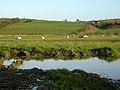 Field of Sheep Near Dillarburn - geograph.org.uk - 277037.jpg