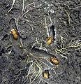 Final instar Chorus cicada nymphs 5th instar Amphisalta zealandica nymphs.jpg